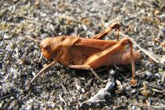 Psophus_stridulus17